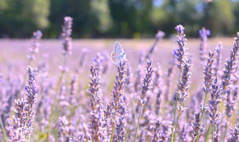 フランス ソー村のラベンダー畑と蝶