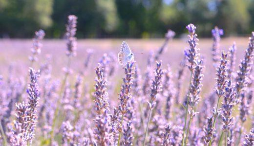 ラベンダー畑と蝶 / ソー / フランスの写真素材