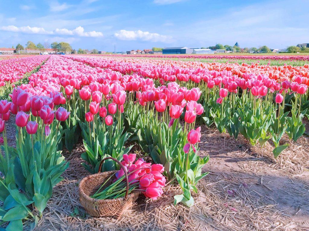 オランダ チューリップ畑 FAM Flower farm